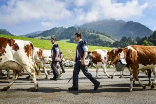 Almabtrieb Kuehe Berge Alpen.jpg